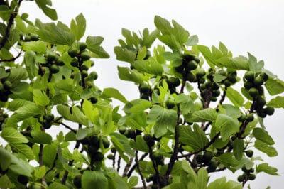 where-do-figs-grow