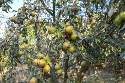where-do-pears-grow
