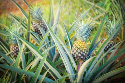 where-do-pineapples-grow