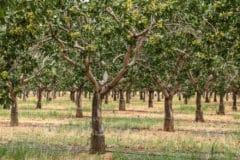 where-do-pistachios-grow