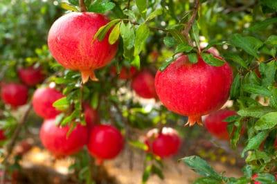 where-do-pomegranates-grow