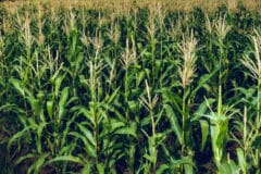 where-is-corn-grown