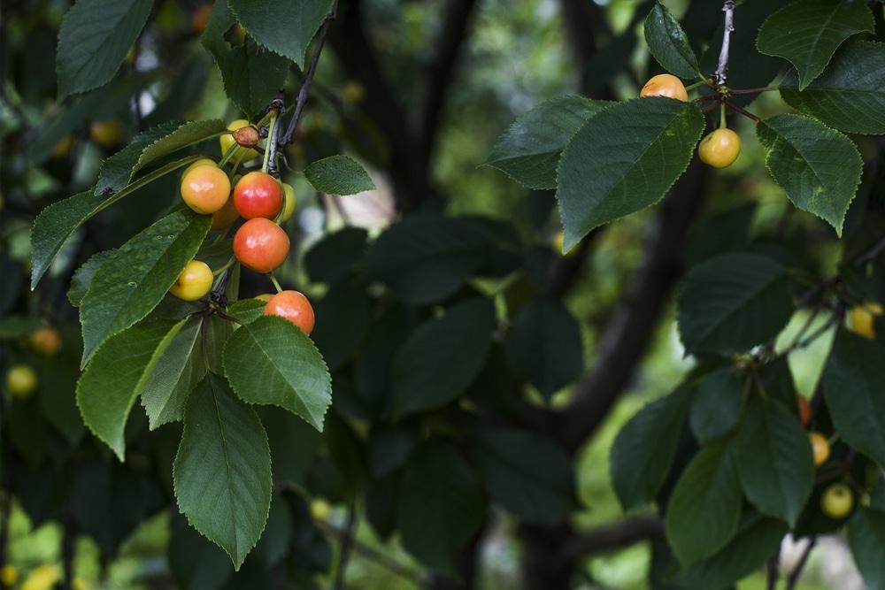 Wild Cherry Tree Identification Top Tips