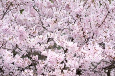 yoshino-cherry-tree-problems