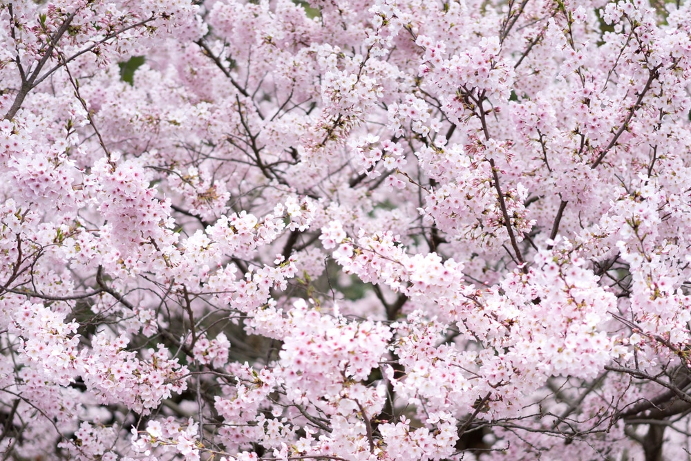 Yoshino Cherry Tree Problems Tips On Identification Control