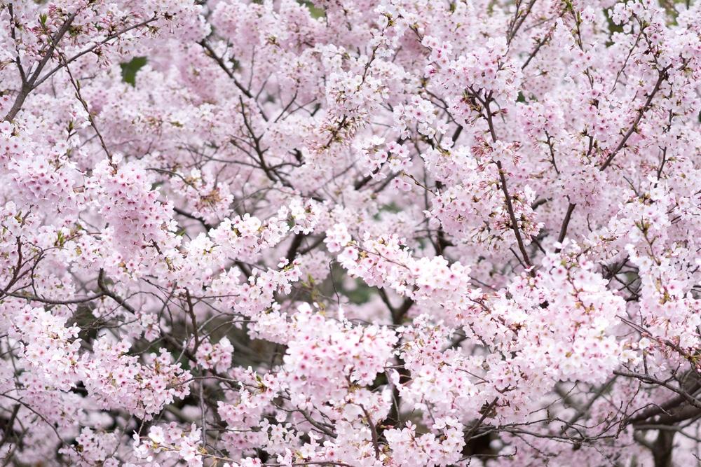 Yoshino Cherry Tree Problems Tips On