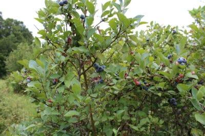 blueberry-bush-size