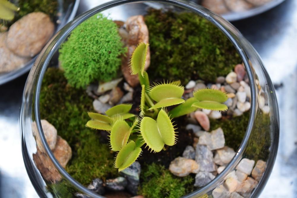 Carnivorous Plants Terrarium Garden Eco