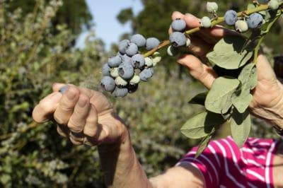 growing-blueberries-in-florida