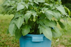 growing-potatoes-in-containers
