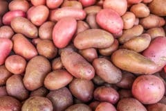 growing-red-potatoes