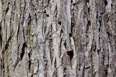 hickory-tree-bark