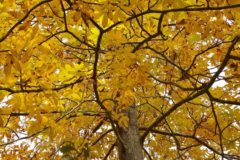 hickory-tree-facts