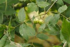 hickory-tree-leaves