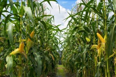 how-tall-does-corn-grow