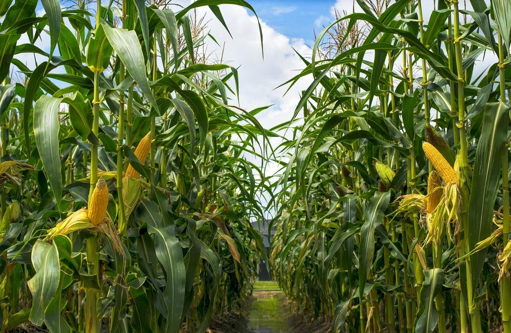 How Tall Does Corn Grow Garden Eco