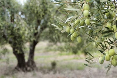 how-to-grow-an-olive-tree