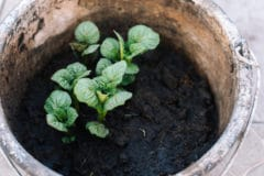 how-to-grow-potatoes-in-a-bucket