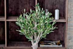 indoor-olive-tree