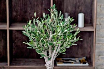 indoor-olive-tree