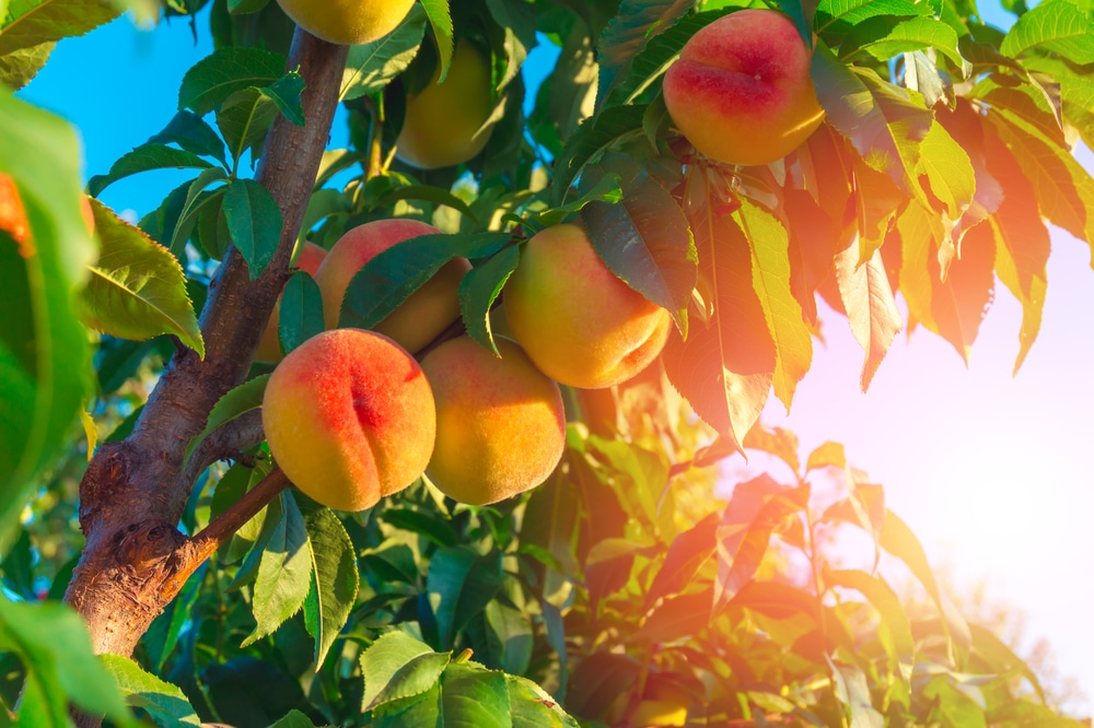Peach Tree Care Tips For Healthy Trees