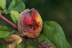 peach-tree-diseases