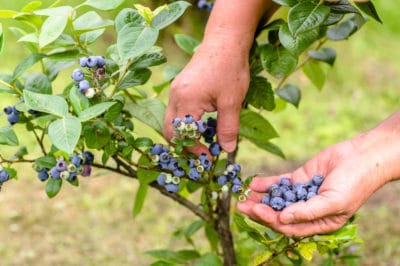 picking-blueberries