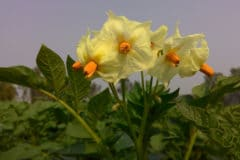 potato-flower
