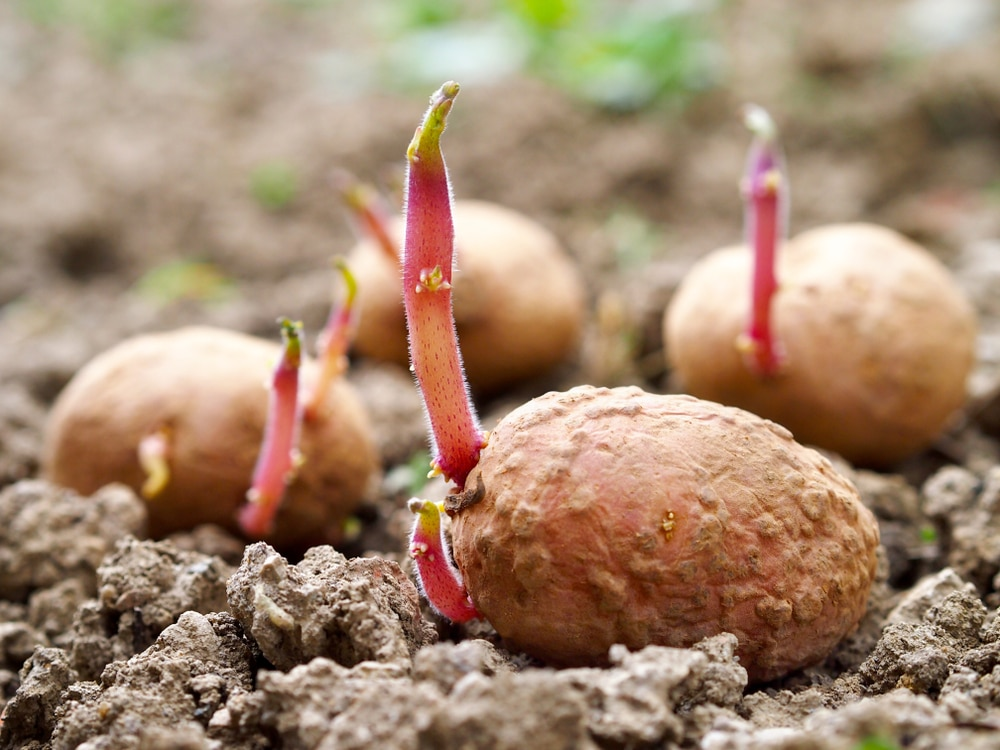 Potato Sprouts Top Facts Tips