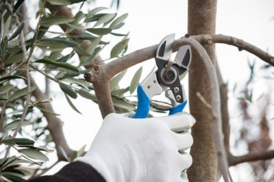 pruning-olive-trees