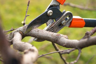 pruning-peach-trees