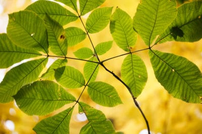 shagbark-hickory-leaf