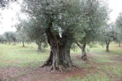 what-does-an-olive-tree-look-like