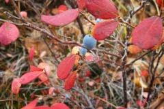 blueberry-leaves-turning-red