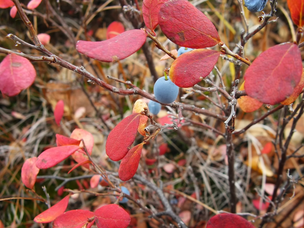 Blueberry Leaves Turning Red Top Tips On Why