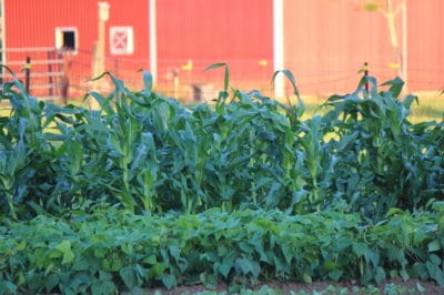 corn-companion-plants