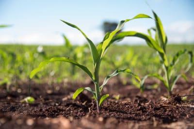 corn-growing-season