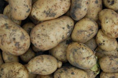curing-potatoes