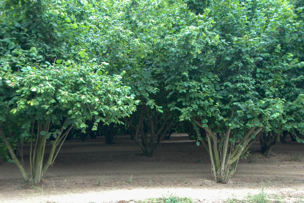 Do Hazelnuts Grow On Trees Or Bushes Garden Eco
