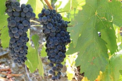 fertilizer-for-grapes
