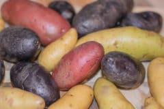 growing-fingerling-potatoes