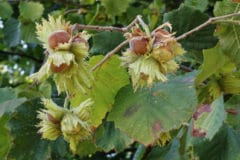 growing-hazelnuts