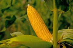 growing-sweet-corn