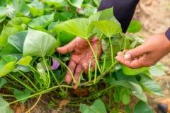 growing-sweet-potatoes