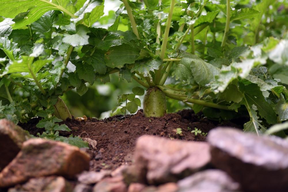Growing Turnip Greens » All the Top Tips Turnip Companion Plants