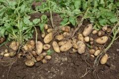 harvesting-potatoes