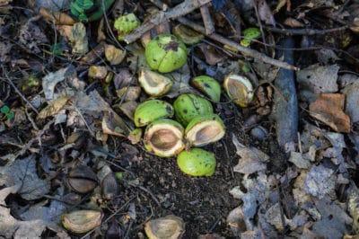 hickory-harvest