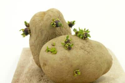 how-do-potatoes-reproduce
