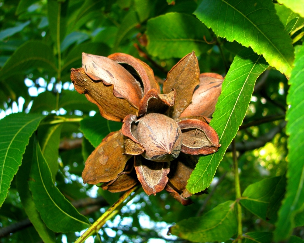 How Long Do Pecan Trees Live Tips On A Long Lived Tree