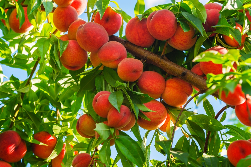 How to Grow a Peach Tree » Top Tips for Success